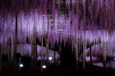 Ashikaga Flower Park ...