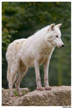 Loup blanc au Parc de sainte-Croix par Gérard Koehl