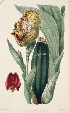 flowers-22972 041-anguloa ruckeri, Mr Rucker's Anguloa      ...  botanical floral botany natural naturalist nature flowers flower beautiful nice flora plants blooming ArtsCult.com Artscult ArtsCult vintage printable public domain 300 dpi commercial use 1800s 1700s 1900s Victorian Edwardian art clipart royalty free digital download picture collection pack paintings scan high qulity illustration old books pages supplies collage wall decoratio