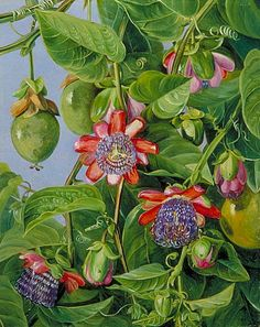 Marianne North Flowers and Fruit of the Maricojas Passion Flower 19th century
