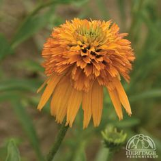 Echinacea 'Marmalade' Cone-fections Coneflower