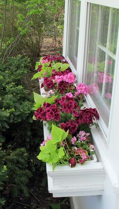 Shade window box - The dark, gorgeous deep rasberry Geraniums are the thrill, the pale pink Impatiens and the multicolored Coleus are the fill and the Sweet Potato vines are the spill.