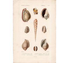 1836+mare+SHELL+incisione+stampa+originale+di+antiqueprintstore