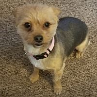 Plymouth Michigan Yorkie Yorkshire Terrier Meet Mia A For Adoption Https Www Adoptapet Com Yorkshire Terrier Yorkie Yorkie Yorkshire Terrier