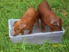 Duroc Pigs Origin