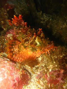 A Wide Variety of Scorpion fish - http://www.twofishdivers.com/2016/03/variety-scorpion-fish/?utm_source=PN&utm_medium=Pin+to+Travel&utm_campaign=SNAP%2Bfrom%2BTwo+Fish+Divers