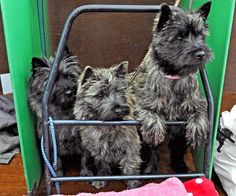 Cairn Terriers - Wanting to be free!   by Dreamsmitten