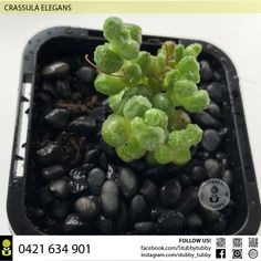 Quality succulents, cacti and houseplants for sale - Adelaide, SA, Australia Succulents For Sale, Houseplants, Cactus, Fruit, Natural, Food, Indoor House Plants, House Plants, Nature