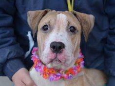 TO BE DESTROYED - 11/15/14 Brooklyn Center ** PUPPY ALERT **   My name is MAMA. My Animal ID # is A1019720. I am a female tan and white pit bull mix. The shelter thinks I am about 10 MONTHS old.  I came in the shelter as a STRAY on 11/05/2014 from NY 11207, owner surrender reason stated was STRAY.