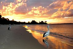 Pelican Sunset - Yamba - Northern NSW - This image would fit on at least four of my boards and I tossed up between here and Reflections. Tasmania, Australia Landscape, Australia Animals, Best Sunset, Sky And Clouds, Back To Nature, Australia Travel, Gold Coast, East Coast