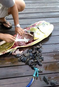 Gut contents of mahi mahi... hope they made it, looks like some of them might have.