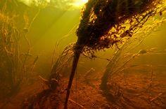 Roestvlokken  overdekken de waterplanten Biotope Aquarium, Visual Texture, Black Water, Underwater Photography, Water Tank, Rivers, Octopus, Lakes, Characters