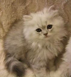 Ragdoll kitten... I'm about to get two for myself!! - Spoil your kitty at www.coolcattreehouse.com