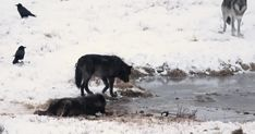 The black wolves of Yellowstone are a striking icon that draws many wildlife watchers to the world's first national park.