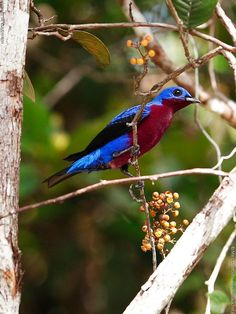Purple-breasted Cotinga