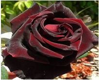 The elusive black baccara rose. One of my favorite flowers. The deep dark (almost black) red is just stunning.