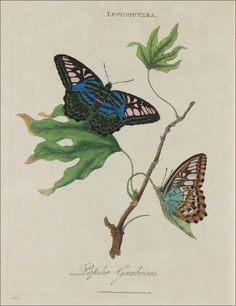 Insect Prints & Dragonfly Prints from Edward Donovan, The Natural History of British Insects Butterfly Illustration, Botanical Illustration, Botanical Art, Picture Groupings, Butterfly Art, Butterflies, Frames For Canvas Paintings, Affordable Wall Art, Fabric Panels
