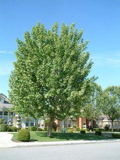 Plant photo of: Platanus racemosa California Sycamore