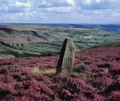 Standing stone amongst purple heather in Rosedale in the North York Moors.
