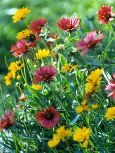 Blanketflower, coreopsis- bright red and yellow flowers attract birds and butterflies