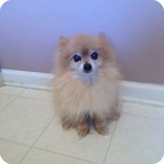 Oak Ridge, NJ - Pomeranian. Meet Tazzy-Tiny 13 year old, a dog for adoption. http://www.adoptapet.com/pet/12397723-oak-ridge-new-jersey-pomeranian