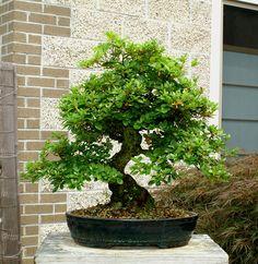 Bonsai Tree Specimen Satsuki Azalea Komachiwarai Sakst 617   eBay
