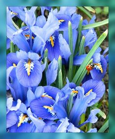 """Gma called these Irises """"flags"""""""