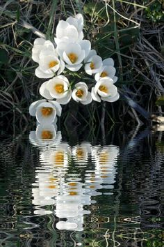 white crocus with water reflection added on bottom by free water reflections photo app Free Photo Apps, Reflection Photos, Water Reflections, Smartphone, Flowers, Plants, Blue, Plant, Royal Icing Flowers