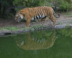 The Adventure's Of Ralph: All of the Tigers and their differences