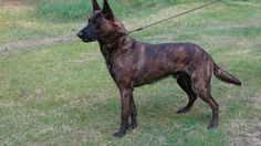 Dutch Pups - Vandalia Kennel Dutch Shepherds