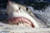 great white shark eating whale carcass