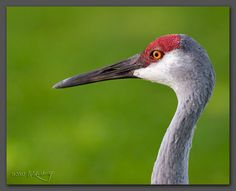 The Sandhill Crane Festival is held every year at the beginning of Nov. Description from fmnorcal.pbworks.com. I searched for this on bing.com/images