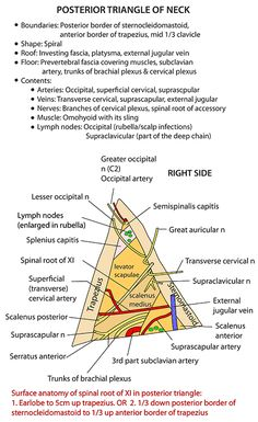 Instant Anatomy - Head and Neck - Nerves - Cranial - XI (Spinal accessory) In posterior triangle