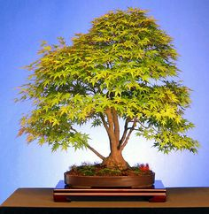~~Japanese Mountain Maple Bonsai, 50-Years Old by dugspr~~