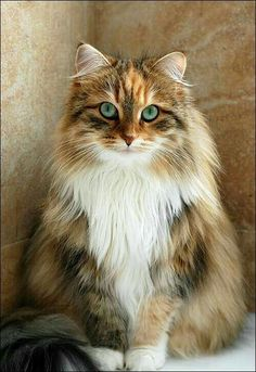If my cat had had a child with my sister in law's cat- what a beauty!
