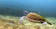 """Para muchas personas cuando escuchan hablar de tortugas marinas piensan en el relajado personaje de la película """" Buscando a Nemo"""". Sí sabemos que esta no es la referencia más técnica que podemos darte pero aunque no lo creas es lo que más nos dicen cuando hablamos de estos animales así que es válida.  Bueno """"Crush"""" es una tortuga verde así como esta de la foto. Y también está presente en nuestro país de hecho es relativamente común de ver en el mar.  Esta especie se alimenta principalmente…"""