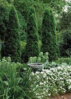 A screen of arborvitae forms a strong backdrop for hostas and white impatiens.