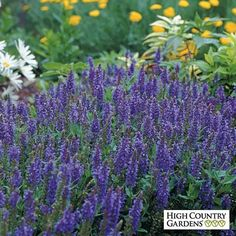 """Salvia sylvestris """"Blue Hill"""" (or Blue Hill Sage) is excellent for xeriscaping - drought-tolerant, attracts butterflies, good for bees, likes full sun."""