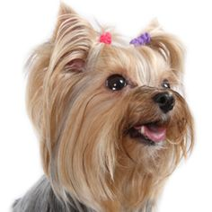 funny yorkie signs - Google Search