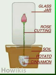 """Propagate Roses - Cut 8 to 9 inches of a long stem rose at angle. Remove spent blooms, leaves, or rose hips. Dip stem in cinnamon. Take a potato, remove any """"eyes"""". Cut it in half and bore a hollow for rose stem. Plant about 4 inches into the gr Container Gardening, Gardening Tips, Organic Gardening, Vegetable Gardening, Balcony Gardening, Fairy Gardening, Gardening Services, Indoor Gardening, Garden Projects"""