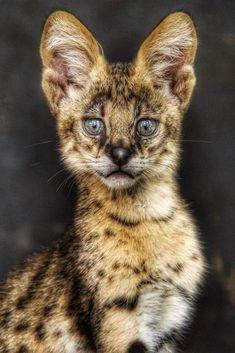 Zane's familiar Haji Big Cats, Cats And Kittens, Cute Cats, Tame Animals, Animals And Pets, Beautiful Cats, Animals Beautiful, Gato Grande, Exotic Cats
