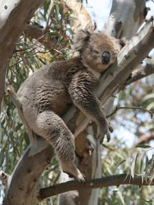 Echidna wildlife tours in Melbourne, Australia - Koala watching. Read our review http://greencitytrips.com/echidna-walkabout-wildlife-tours/