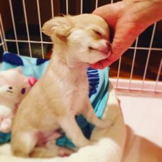 Chihuahua Love, Chihuahua Puppies, Cute Puppies, Cute Dogs, Cute Animal Pictures, Puppy Pictures, Happy Animals, Cute Animals, Dog Best Friend