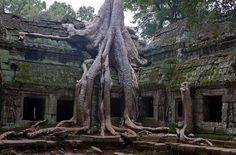 Silk-cotton tree in the old ruines of the ta prohm Temple