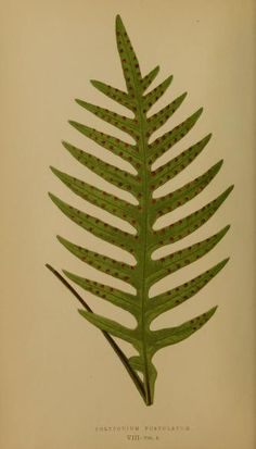 - - Ferns: British and exotic. By Lowe, E. Water Pictures, Plant Pictures, Antique Prints, Vintage Prints, Botanical Illustration, Botanical Prints, Nature Collage, Nature Prints, Fern Plant