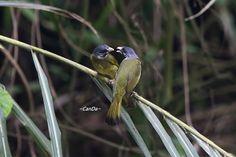 白環鸚嘴鵯 Collared Finchbill (Spizixos semitorques cinereicapillus) ※特有亞種