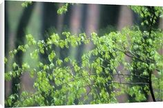 Canvas Prints of Tree leaves in spring time from Robert Harding $64.95