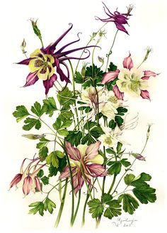 Aquilegia by Milly Acharya Nature Illustration, Floral Illustrations, Botanical Illustration, Vintage Botanical Prints, Botanical Drawings, Botanical Flowers, Botanical Art, Watercolor Flowers, Watercolor Art