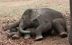Los elefantes de madres estresadas envejecen antes y tienen menos crías / Noticias / SINC