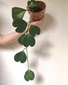 Upside down hearts - This green beauty is called 'Sweetheart Hoya'.